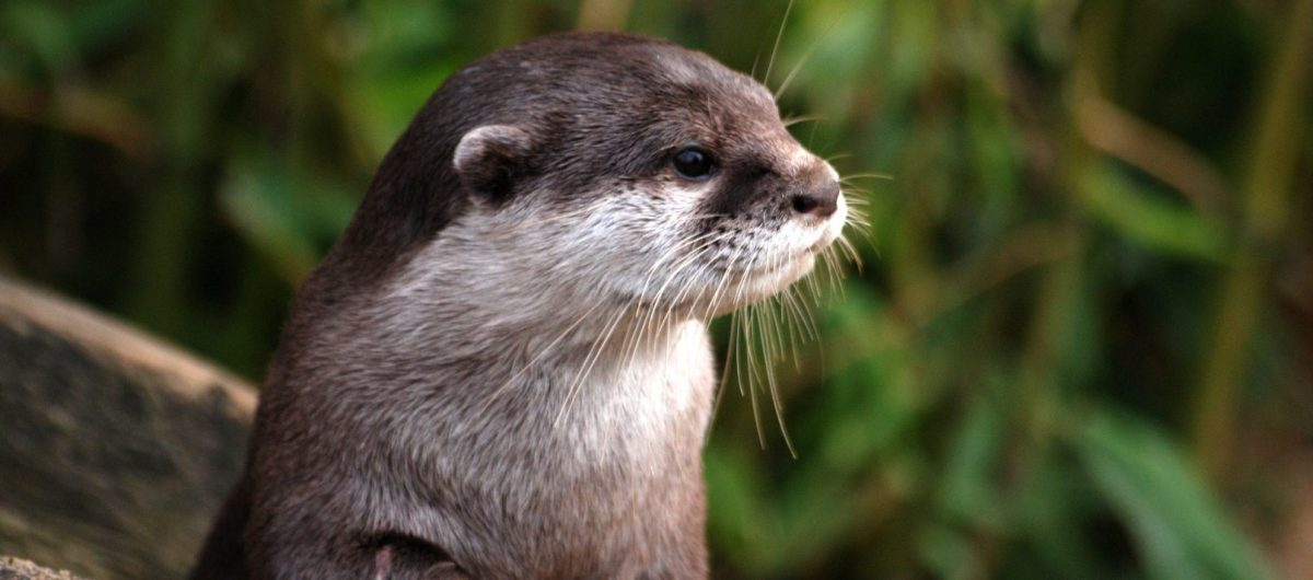 Close up of Otter